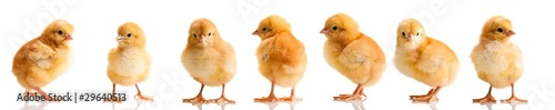 Chickens in differens poses isolated on white - 29640513