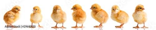 Leinwandbild Motiv Chickens in differens poses isolated on white