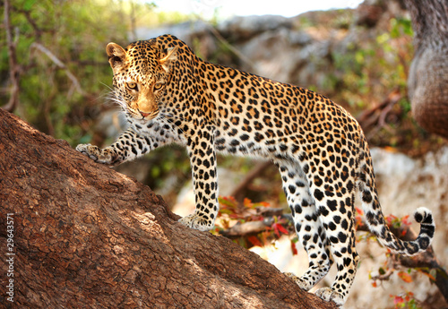 Poster Luipaard Leopard standing on the tree