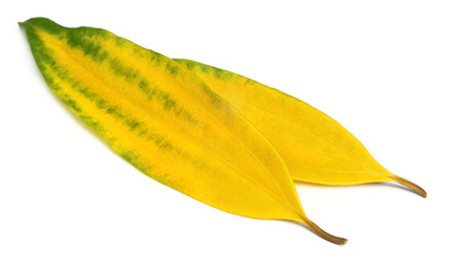 Decorative cassia leaves