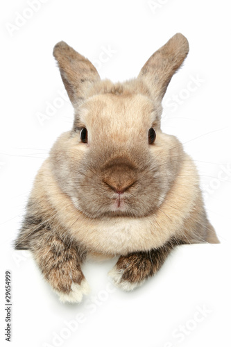 Rabbit. Close-up portrait on a white background