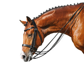 Dressage: head of bay stallion
