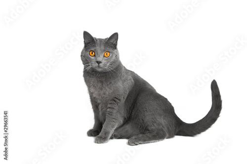 Papiers peints Chat chat chartreux