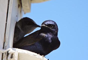 Purple Martin pair in birdhouse