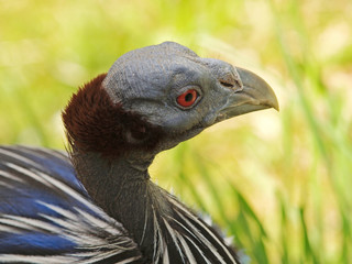 Portrait of vulturine gineafowl on IUCN RED LIST