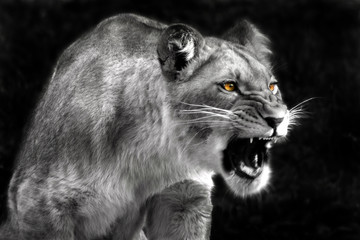 Angry lioness © Fotokon