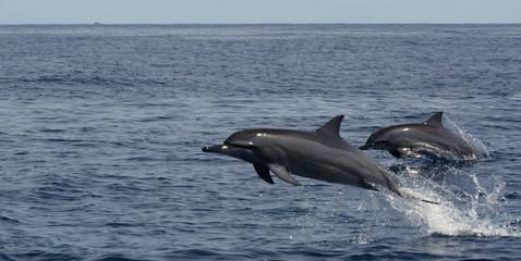 coppia di delfini