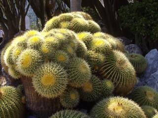 Cactus centenaire
