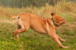 Funny French Mastiff running quickly and jumping to it's master