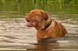Wrinkled young Dogue De Bordeaux swimming in forest lake