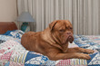 Cute french mastiff puppy laying in bed with blue counterpane