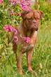French Mastiff Puppy is hiding in phlox bush in summer garden