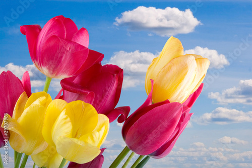 Beautiful pink and yellow tulips