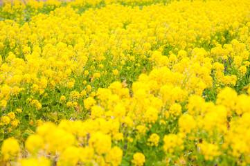 食用の菜の花