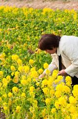 食用の菜の花を摘む女性