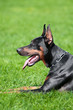 Black doberman pinscher