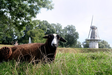 Sheep near a windmill