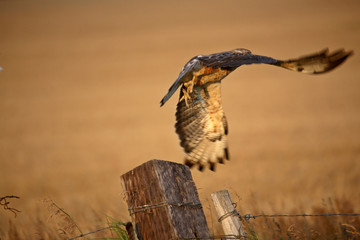 Swainson's Hawk taking flight from a fence post