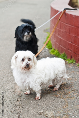 Two Maltese Terriers outdoors