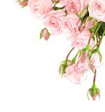 Fototapety Fresh roses border