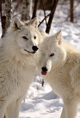 Arctic Wolves close together in winter