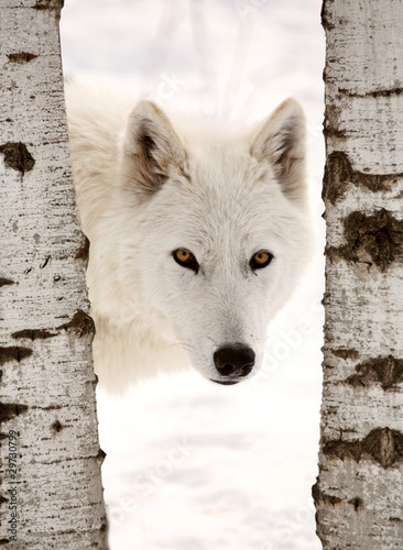 Tuinposter Wolf Arctic Wolf seen between two trees in winter