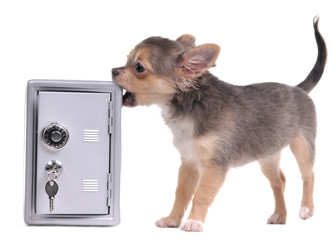 Guard chihuahua dog trying to open metal safe with treasure
