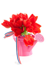 pink watering can with red Dutch tulips over white background