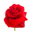 beautiful red rose over white background