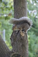 Squirrel gathering acorns