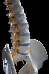 human spinal columns