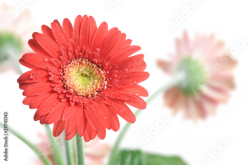 Gerbera Daisy. Focus on the first flower