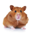 Hamster close-up