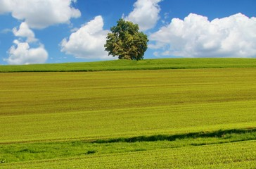 spring field, blue sky and tree