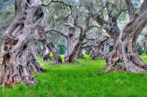 Tuinposter Olijfboom champ oliviers centenaire