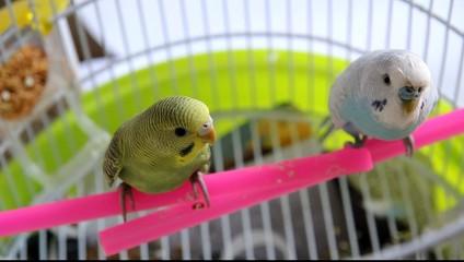 Coppia di pappagallini