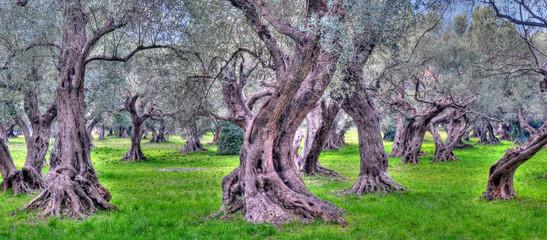 oliviers de provence