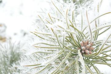 drzewo iglaste zimą