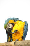Macaw perched preening