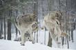 Fototapeta Zwierzę - Zimą - Dziki Ssak
