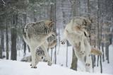 Fototapeta zwierzę - zima - Dziki Ssak