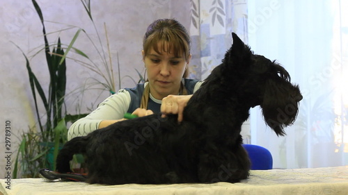 Groom-master at work on trimming Scottish Terrier
