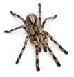 Tarantula spider, Poecilotheria Fasciata