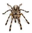 Tarantula spider, Poecilotheria Fasciata - 29798931