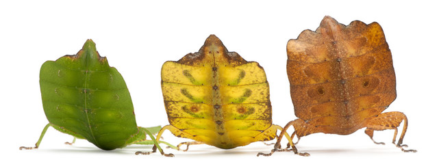Phyllium Westwoodii, three leaf insects