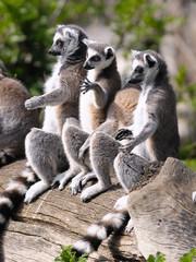 Lemuren beim Sonnenbaden