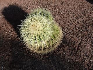 Kaktus mit Schatten