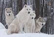 Fototapeta Zimą - Biały - Dziki Ssak