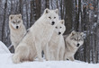 Fototapeten,wölfe,natur,winter,weiß