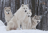 Fototapety Arctic Wolf Pack